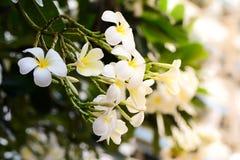 Plumeria, άσπρα λουλούδια Frangipani Στοκ Εικόνες
