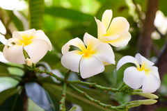 Plumeria, άσπρα λουλούδια Frangipani Στοκ φωτογραφία με δικαίωμα ελεύθερης χρήσης
