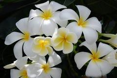 Plumeria, άσπρο λουλούδι στη Νοτιοανατολική Ασία Στοκ εικόνα με δικαίωμα ελεύθερης χρήσης
