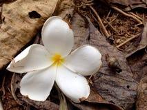 Plumeria, άσπρο λουλούδι Frangipani Στοκ Εικόνα