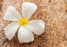 Plumeria, άσπρο χρώμα λουλουδιών στο ξύλινο υπόβαθρο Στοκ εικόνες με δικαίωμα ελεύθερης χρήσης