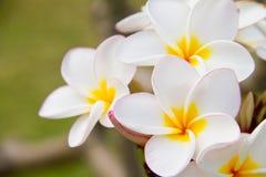 Plumeria ή λουλούδια Frangipani Στοκ Εικόνα