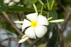 Plumeria ή λουλούδι Frangipani Στοκ εικόνες με δικαίωμα ελεύθερης χρήσης