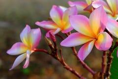 Plumeria ή λουλούδια Frangipani άνθος του τροπικού δέντρου Στοκ Εικόνα