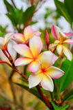 Plumeria ή λουλούδια Frangipani άνθος του τροπικού δέντρου Στοκ εικόνα με δικαίωμα ελεύθερης χρήσης