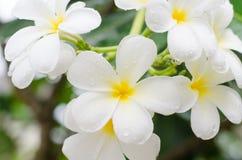 Plumeria ή λουλούδια Frangipani Στοκ φωτογραφία με δικαίωμα ελεύθερης χρήσης