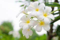 Plumeria ή λουλούδια Frangipani Στοκ φωτογραφίες με δικαίωμα ελεύθερης χρήσης