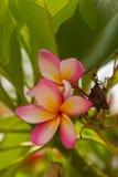 Plumeria ή λουλούδι Frangipani στο φύλλο Στοκ εικόνες με δικαίωμα ελεύθερης χρήσης