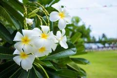 Plumeria ή λουλούδι Frangipani Στοκ Φωτογραφίες