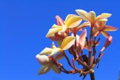 Plumeria ή λουλούδι Frangipani Στοκ Εικόνα