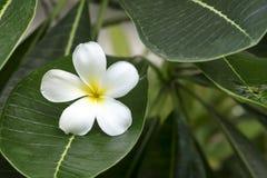 Plumeria ή λουλούδι Frangipani Στοκ φωτογραφίες με δικαίωμα ελεύθερης χρήσης