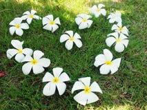 Plumeria ή ταϊλανδική γλώσσα Leelawadee Στοκ Εικόνα