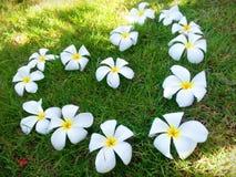 Plumeria ή ταϊλανδική γλώσσα Leelawadee Στοκ φωτογραφία με δικαίωμα ελεύθερης χρήσης