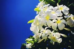 Plumeria ή το κοινό λουλούδι Frangipani ονόματος με ένα φωτεινό μαλακό φίλτρο Στοκ φωτογραφίες με δικαίωμα ελεύθερης χρήσης