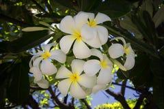 Plumeria ή το κοινό λουλούδι Frangipani ονόματος Στοκ Εικόνες