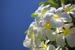 Plumeria ή το κοινό λουλούδι Frangipani ονόματος Στοκ φωτογραφία με δικαίωμα ελεύθερης χρήσης