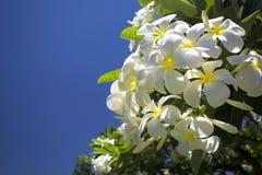 Plumeria ή το κοινό λουλούδι Frangipani ονόματος Στοκ εικόνα με δικαίωμα ελεύθερης χρήσης