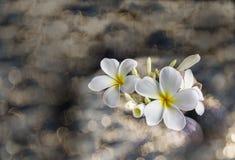 plumeria ή frangipani λουλουδιών στο βράχο χαλικιών στο bokeh Στοκ εικόνα με δικαίωμα ελεύθερης χρήσης
