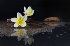 Plumeria ή frangipani στο βράχο νερού και χαλικιών Στοκ Εικόνες
