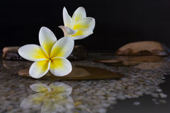 Plumeria ή frangipani στο βράχο νερού και χαλικιών Στοκ εικόνα με δικαίωμα ελεύθερης χρήσης