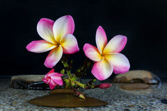 Plumeria ή frangipani στο βράχο νερού και χαλικιών Στοκ Φωτογραφία