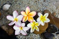 Plumeria ή frangipani στο βράχο νερού και χαλικιών Στοκ φωτογραφίες με δικαίωμα ελεύθερης χρήσης