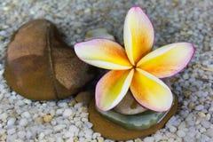 Plumeria ή frangipani στο βράχο νερού και χαλικιών Στοκ Φωτογραφίες