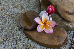Plumeria ή frangipani στο βράχο νερού και χαλικιών Στοκ εικόνες με δικαίωμα ελεύθερης χρήσης