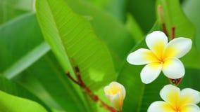 Plumeria ανθίζοντας λουλούδια frangipani rubra κοινά απόθεμα βίντεο