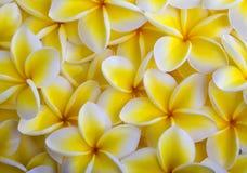 plumeria ανθών κίτρινο Στοκ εικόνες με δικαίωμα ελεύθερης χρήσης