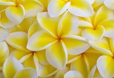 plumeria ανθών κίτρινο Στοκ Φωτογραφία