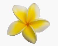 plumeria ανθών κίτρινο Στοκ Εικόνες