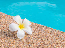 Plumeria από την πισίνα Στοκ εικόνα με δικαίωμα ελεύθερης χρήσης