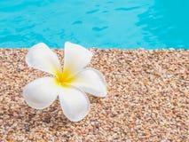 Plumeria από την πισίνα Στοκ φωτογραφία με δικαίωμα ελεύθερης χρήσης