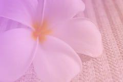 Plumeria, γλυκό λουλούδι Στοκ φωτογραφίες με δικαίωμα ελεύθερης χρήσης