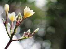 Plumeria, εξωτικά λουλούδια του ΜΠΑΛΙ μυρωδιάς αρώματος Templetree style spa Στοκ Εικόνα