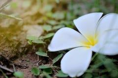 Plumeria επάνω που απομονώνεται στενός στο υπόβαθρο Στοκ Εικόνες
