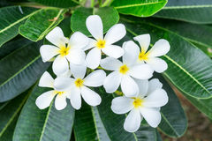 Plumeria κίτρινη γύρη λουλουδιών Frangipani άσπρη Στοκ φωτογραφίες με δικαίωμα ελεύθερης χρήσης