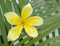 plumeria κίτρινο Στοκ Φωτογραφίες