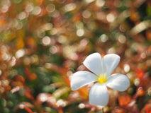 Plumeria και bokeh Στοκ Εικόνες