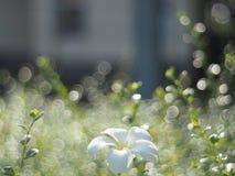 Plumeria και bokeh Στοκ Φωτογραφίες