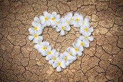 plumeria καρδιών λουλουδιών Στοκ Εικόνες