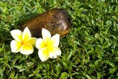 plumeria καρύδων ανθών Στοκ Εικόνα