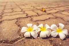 Plumeria καλό που είναι εκλεκτής ποιότητας ύφος Στοκ εικόνες με δικαίωμα ελεύθερης χρήσης