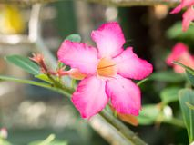 Plumeria λουλουδιών ρόδινο και άσπρο bloomi λουλουδιών frangipani τροπικό Στοκ Εικόνες