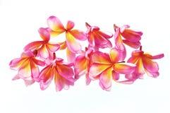 plumeria λουλουδιών τροπικό Στοκ φωτογραφίες με δικαίωμα ελεύθερης χρήσης