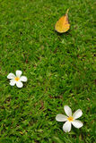 plumeria λουλουδιών τροπικό Στοκ Φωτογραφία