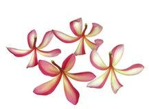 plumeria λουλουδιών τροπικό Στοκ εικόνα με δικαίωμα ελεύθερης χρήσης
