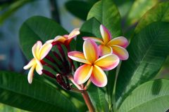 plumeria λουλουδιών Στοκ Εικόνες