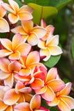 plumeria λουλουδιών Στοκ Εικόνα